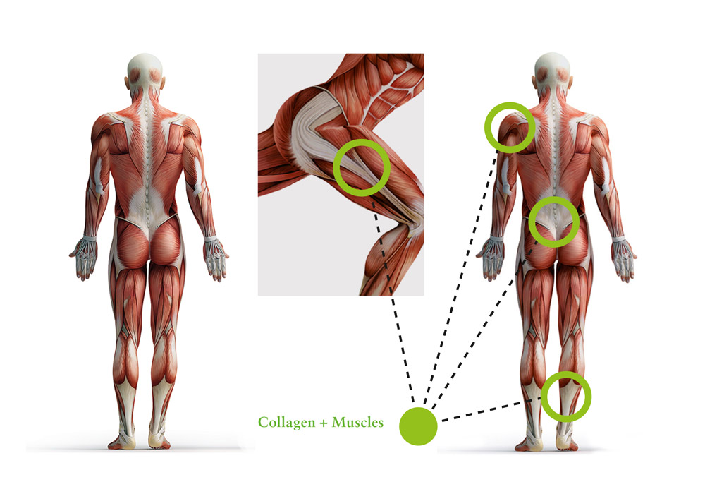 Collagen, protein & muscles